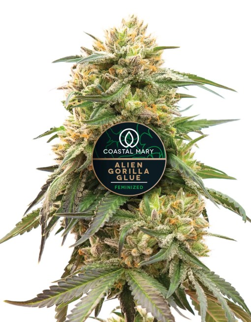 Alien Gorilla Glue feminized cannabis plant