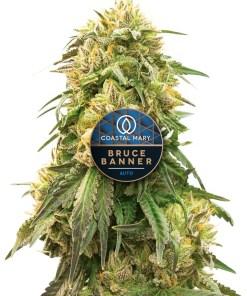 Bruce Banner autoflower feminized cannabis plant