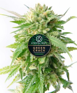 Green Crack feminized cannabis plant