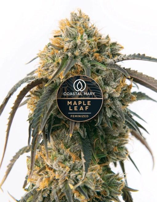 Maple Leaf Feminized cannabis plant