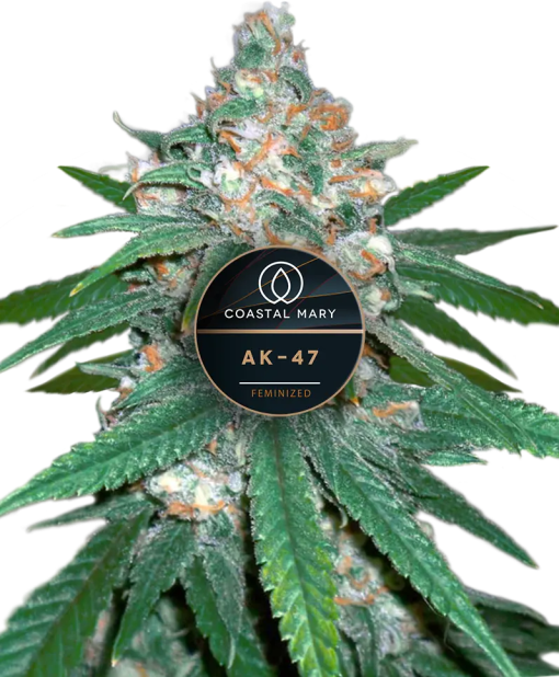 AK-47 Feminized for Coastal Mary Seeds