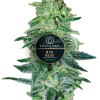 Big Bud feminized for Coastal Mary Seeds