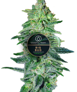 Big Bud feminized for Coastal Mary Seeds