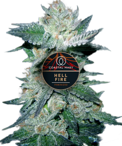 Hellfire Feminized for Coastal Mary Seeds
