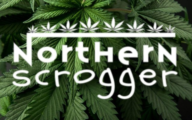 Northern Scrogger grow for coastal Mary seeds