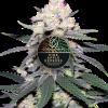 Pineapple Express feminized plant for Coastal Mary Seeds