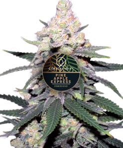 Pineapple Express feminized plant for Coastal Mary Seeds
