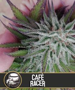 Cafe Racer Feminized Seeds