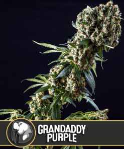 Grandaddy Purple
