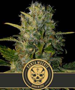 Santa Meurte feminized cannabis seeds