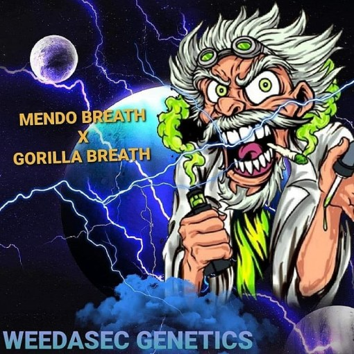 Good Morning Breath by Weedasec for Coastal Mary Seeds