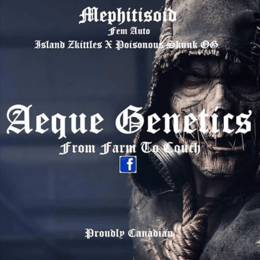 Mephisitold autoflower seeds by Aeque genetics for Coastal Mary Seeds