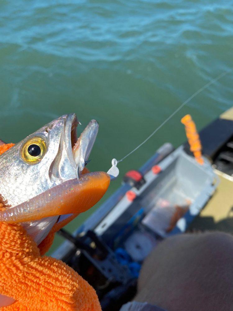 "Sea Trout caught on an Orange Crush 3"" Tubby Shad, while kayak Fishing near Sanibel Island, Florida."