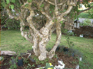 Harry Lauder Walking Stick Tree Bush Or Contorted