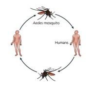 dengue 24