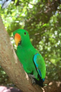 A beautiful green parrot at Wildlife Habitat Port Douglas