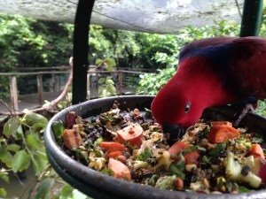 Photo of a beautiful red parrot tucking into a tray of seeds