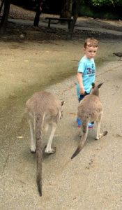 Picture of a child being followed by kangaroos at Wildlife Habitat Zoo Port Douglas
