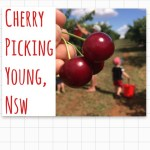 Cherry Picking in Young – NSW
