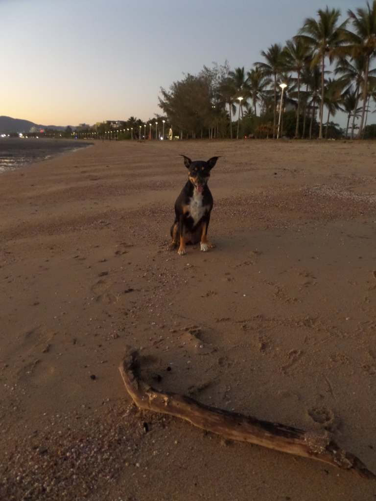 A dog on a beach in Cairns with a big stick