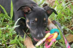 A puppy dog in Cairns eating a chew toy
