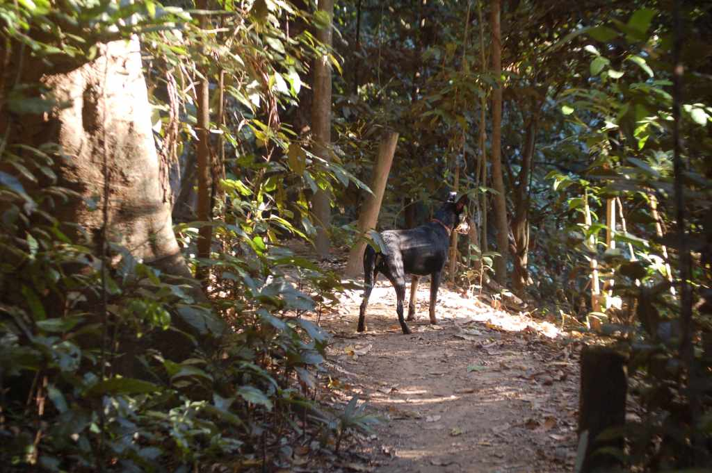 A dog in Cairns - running down a bush trail at Goomboora Park