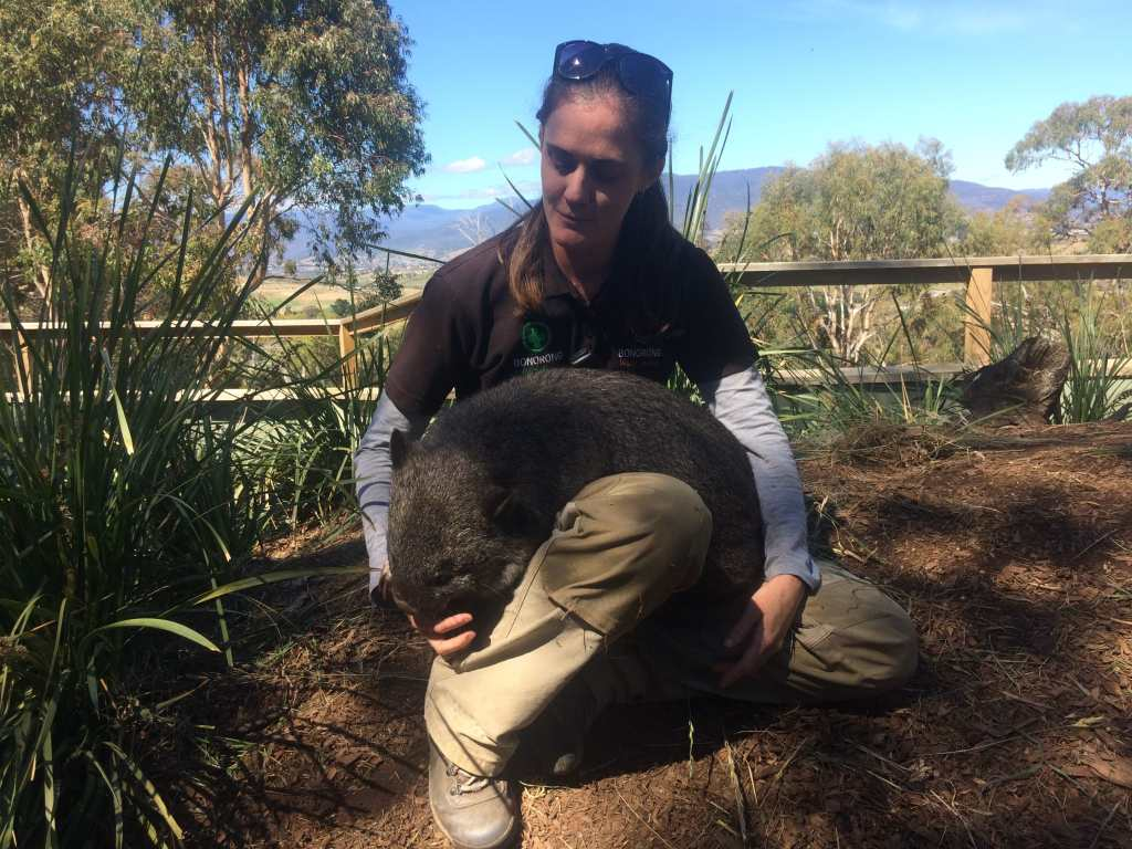 A keeper and wombat at Bonorong Wildlife Sanctuary