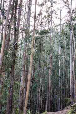 A grove of towering eucalyptus make for a messy trail. Dawn Page/CoastsideSlacking
