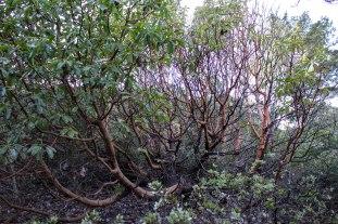 A trailside madrone shrub. Dawn Page/CoastsideSlacking