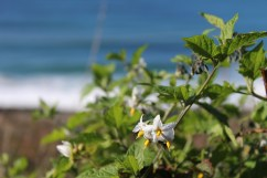 Wildflowers on Gray Whale Cove Trail. Dawn Page/Gray Whale Cove Trail