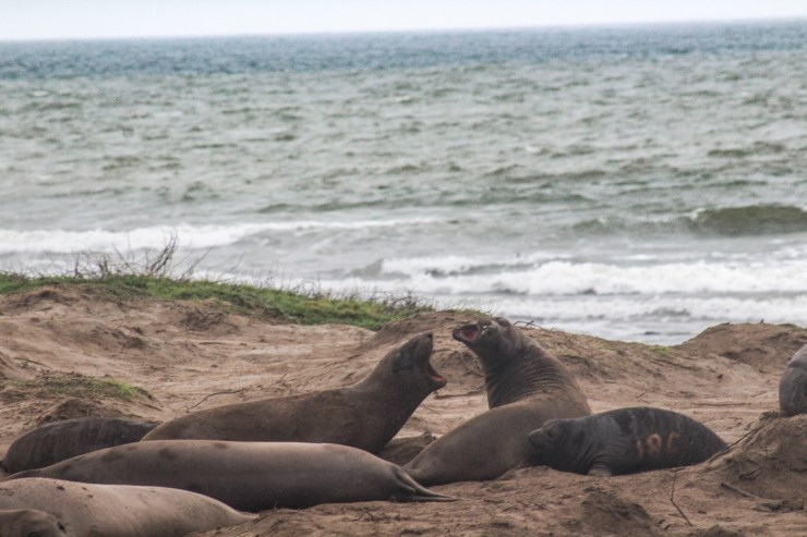 Ano Nuevo elephant seals [photo: Dawn Page]