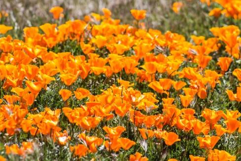 California Poppy Reserve, 2017. Dawn Page/CoastsideSlacking