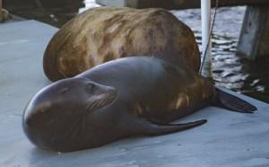 Seals at Pillar Point Harbor. Dawn Page/CoastsideSlacking