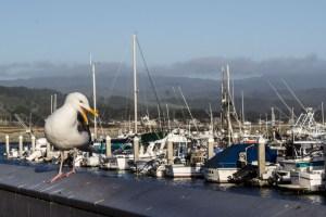 Annoyed gull at Pillar Point Harbor. Dawn Page/CoastsideSlacking