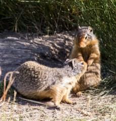 Columbian ground squirrel (prairie dog) meet-up at Banff National Park. Dawn Page / CoastsideSlacking