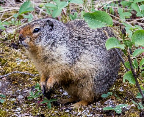 A very fat ground squirrel at Banff National Park. Dawn Page / CoastsideSlacking