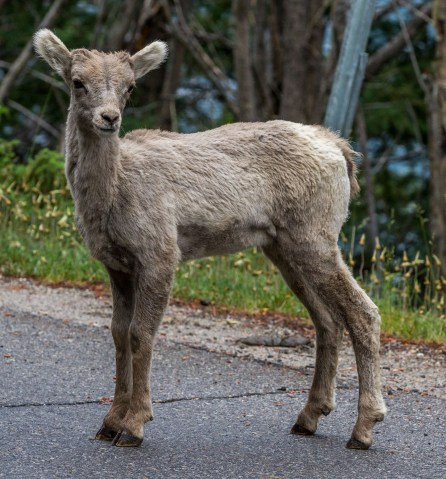 Bighorn sheep at Banff National Park. Dawn Page / Coastsideslacking