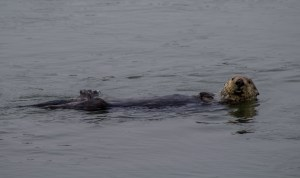 Sea otter feeding at Moss Landing. Dawn Page / CoastsideSlacking