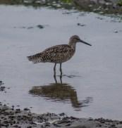 Willet at Moss Landing. Dawn Page / CoastsideSlacking