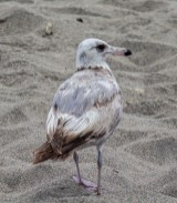 Western Gull at Moss Landing. Dawn Page / CoastsideSlacking