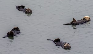 Sea otters at rest at Moss Landing. Dawn Page / CoastsideSlacking