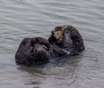 Sea otter waking up at Moss Landing. Dawn Page / CoastsideSlacking