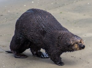Sea otter channeling a raccoon at Moss Landing. Dawn Page / CoastsideSlacking