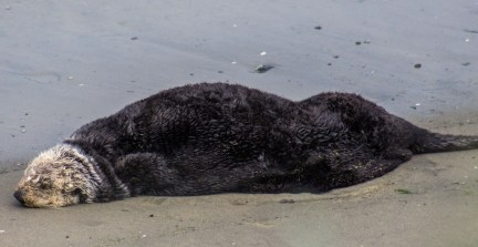 Sea otter has taking a break at Moss Landing. Dawn Page / CoastsideSlacking