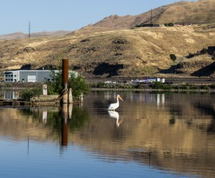 A white pelican hangs out at the marina in Lewiston, Idaho as we prepare for our Hell's Canyon jet boat adventure. Dawn Page / CoastsideSlacking