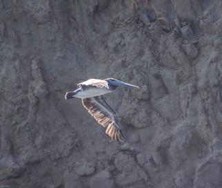 Pelican at Martins Beach, near Half Moon Bay, California. Dawn Page / CoastsideSlacking