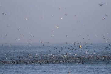 Feeding frenzy at Surfer's Beach near Half Moon Bay. Dawn Page / CoastsideSlacking