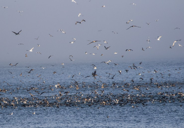 Feeding frenzy at Surfer's Beach near Half Moon Bay. Dawn Page / CoastsideSlacking