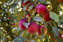 Fall in Sonoma -- Hale's Apple Farm. Dawn Page / CoastsideSlacking