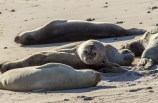 Young male elephant seals. One decides to take a shortcut over his companions. Año Nuevo State Park in Pescadero, California. Dawn Page / CoastsideSlacking.